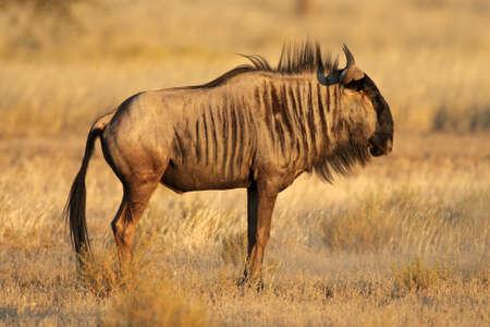 taurinus: Blue wildebeest (Connochaetes taurinus), Kalahari desert, South Africa Stock Photo