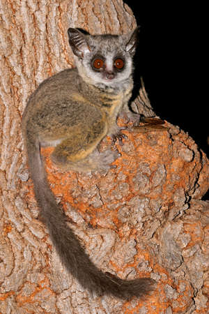 lesser: Nocturnal Lesser Bushbaby  Galago moholi  sitting in a tree, South Africa Stock Photo