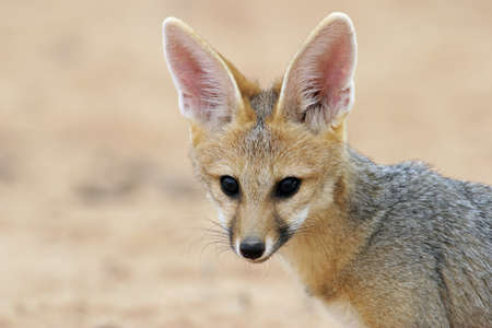 elusive: Portrait of a Cape fox  Vulpes chama , Kalahari desert, South Africa