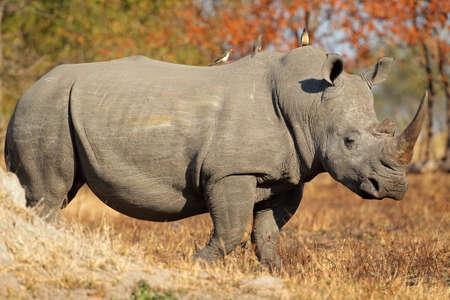 White (square-lipped) rhinoceros (Ceratotherium simum), South Africa  Stock Photo