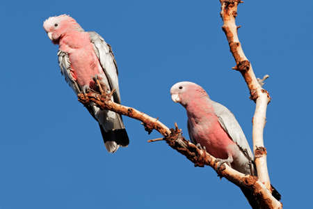 cockatoos: Galah Cockatoos - Cacatua roseicapilla, Kakadu National Park, Northern territory, Australia Stock Photo
