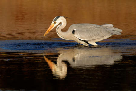 cinerea: Grey heron (Ardea cinerea) in water with reflection, South Africa Stock Photo