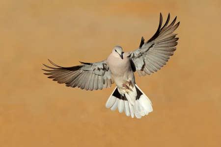 paloma: Cabo t�rtola - Streptopelia capicola - en vuelo, desierto de Kalahari, Sud�frica Foto de archivo