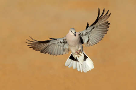 kalahari desert: Cape turtle dove - Streptopelia capicola - in flight, Kalahari desert, South Africa Stock Photo