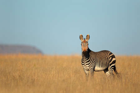 africa safari: Cape Mountain Zebra - Equus zebra, Mountain Zebra National Park, South Africa Stock Photo