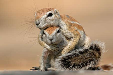 animales desierto: Dos ardillas de tierra - Xerus inaurus - playing, desierto de Kalahari, �frica del Sur Foto de archivo
