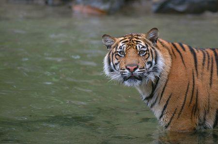 Tigress hears the shutterclick Stock Photo - 218618