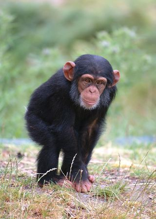 simian:  Chimpanzee Stock Photo