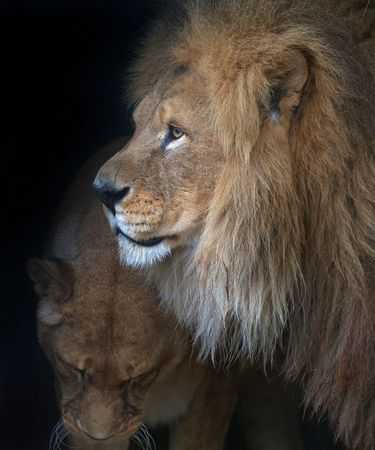 female lion: Lion & Lioness