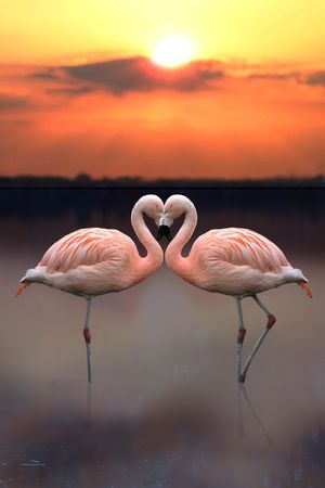 birds lake: Flamingo Heart Stock Photo