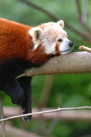 drowse: Red Panda Stock Photo