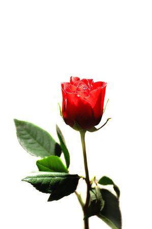 perfumed: Single Rose