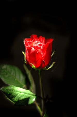 rosebush: Single Rose