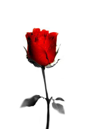 Single rose with Black andamp,amp, White stem photo