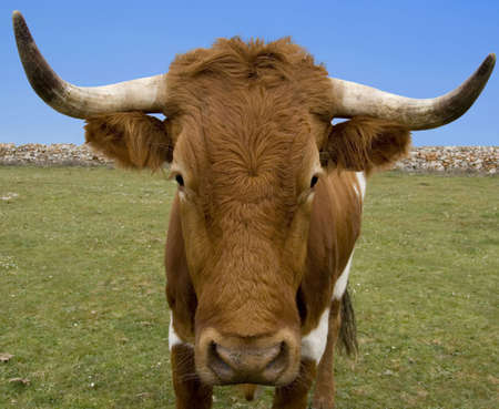 Close-up of Spanish bull Stock Photo - 927627