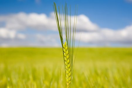 A closeup of a stalk of wheat in a field, shallow depth of focus photo
