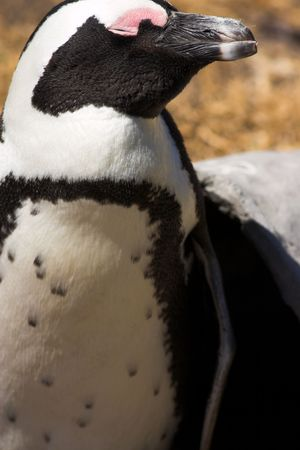 stoney point: Jackass Penguin (Demersus Spheniscus) from Stoney Point colony in South Africa. The penguin is standing next to his man-made hide, closing his eyes from the wind.