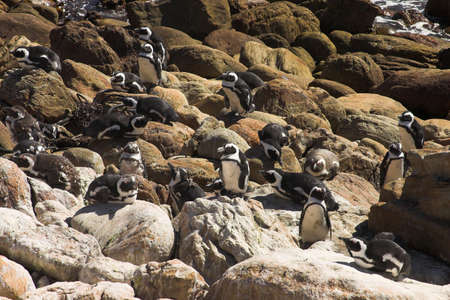 stoney point: Jackass Penguins (Demersus Spheniscus) from Stoney Point colony in South Africa. Penguins are lying and standing on the rocks next to the ocean. Very sunny day.