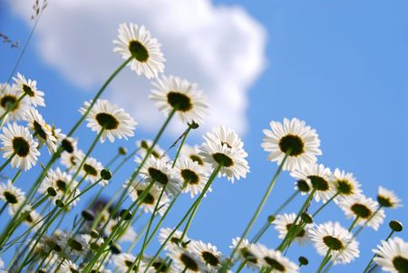 White summer daisies reaching towards blue sky Stock Photo - 828000