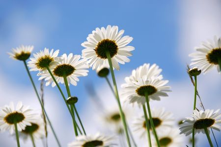 White summer daisies reaching towards blue sky photo
