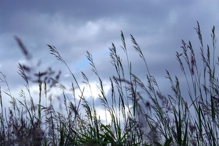Grass blades at dusk on the background of gray blue sky photo