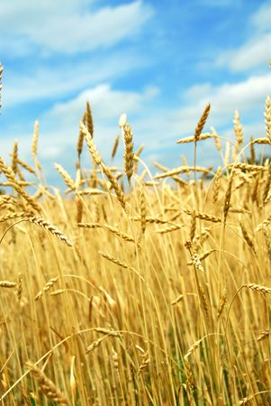 Yellow grain ready for harvest growing on a farm field Stock Photo - 827996