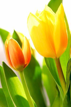 Close up on fresh backlit tulips on white background photo