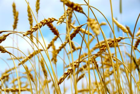 Grain ready for harvest growing in a farm field Stock Photo - 849283