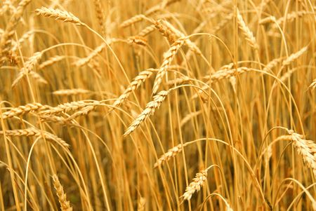 Grain ready for harvest growing in a farm field Stock Photo - 849281