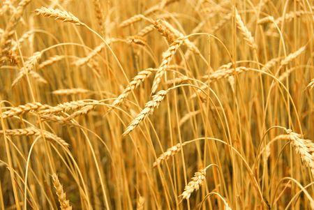 Grain ready for harvest growing in a farm field Stock Photo - 849281