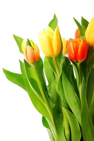 Close up on fresh tulips bouquet on white background