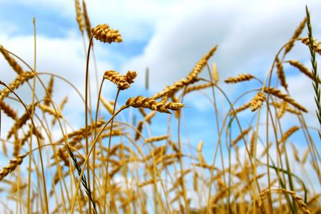 Close up on grain ready for harvest growing in a farm field Stock Photo - 855582