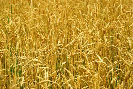 Grain ready for harvest growing in a farm field Stock Photo - 855583