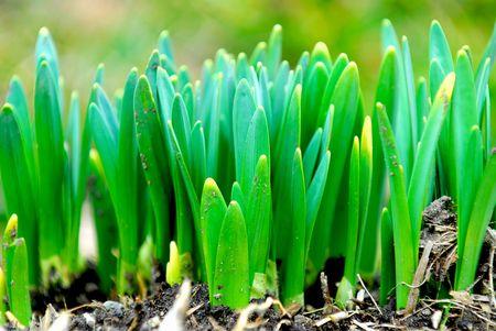 shoots: Brotes de la primavera flores narcisos principios de la primavera en el jard�n Foto de archivo