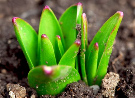 Shoots of spring perennial flowers  in early spring garden Stock Photo - 855588