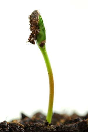 unfold: Single green plant sprout isolated on white background