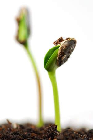 germination: Dos brotes verdes de la planta del girasol aislados en el fondo blanco