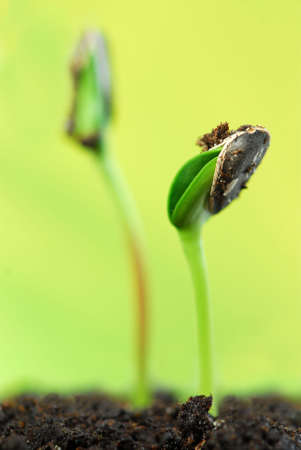 unfolding: Two green sunflower plant sprouts  on green background