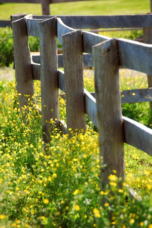 Yellow buttercups growing near farm fence in a green meadow photo