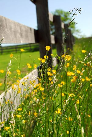 Yellow buttercups growing near farm fence in a green meadow Stock Photo - 861199