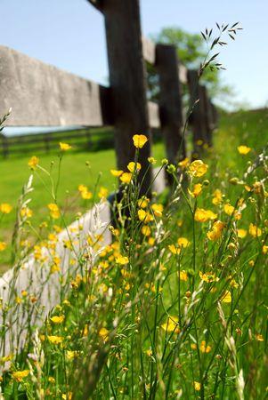 Yellow buttercups growing near farm fence in a green meadow Stock Photo - 861199