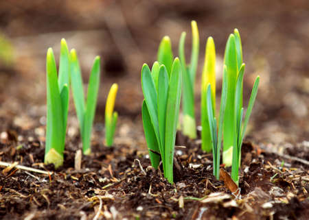 perennials: Shoots of spring flowers daffodils in early spring garden Stock Photo