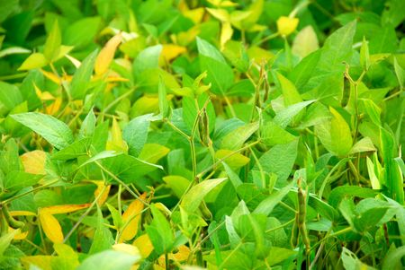 Soy beans growing on a soybean plant in a farm field