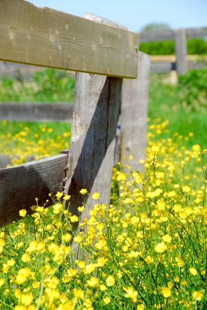 Yellow buttercups growing near farm fence in a green meadow Stock Photo - 865780