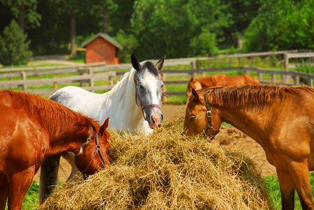 ranching: Several horses feeding at the runch on bright summer day