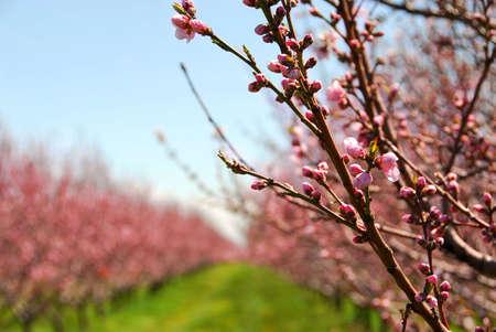 Hileras de árboles de durazno que florece en la primavera de un huerto Foto de archivo
