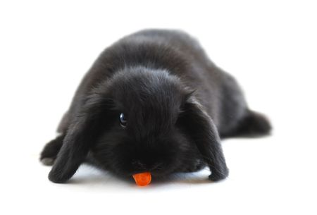 Black holland lop bunny rabbit eating a carrot isolated on white background photo