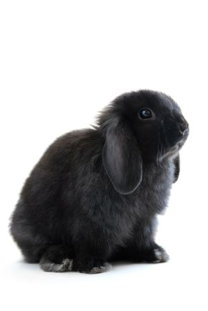 Black holland lop bunny rabbit isolated on white background photo