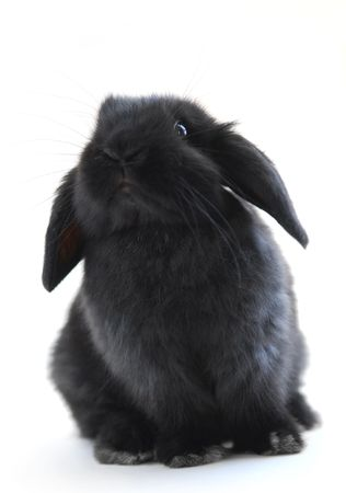lop: Black holland lop bunny rabbit isolated on white background