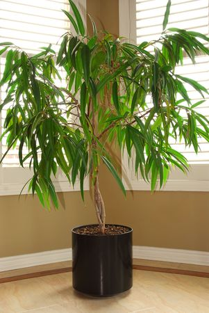 blinds: Tropical house plant in a pot and windows with blinds